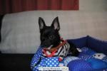 Chihuahua Macho Negro 24