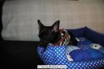 Chihuahua Macho Negro 25