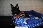 Chihuahua Macho Negro 27