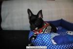 Chihuahua Macho Negro 28