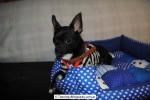 Chihuahua Macho Negro 29