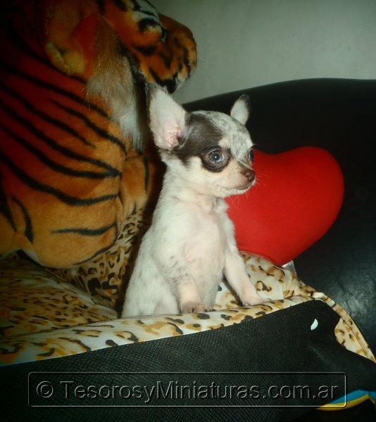 Chihuahua Merle 01