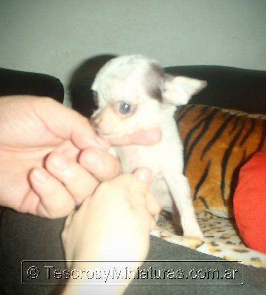 Chihuahua Merle 05
