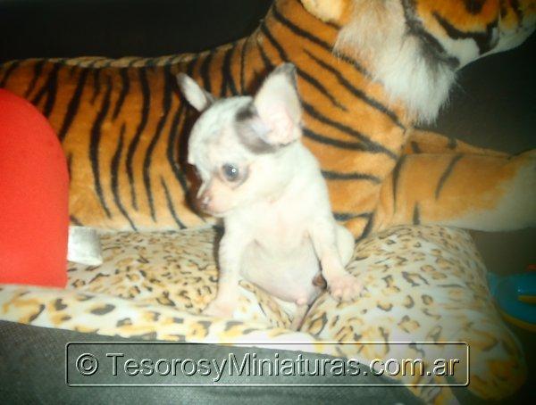 Chihuahua Merle 06