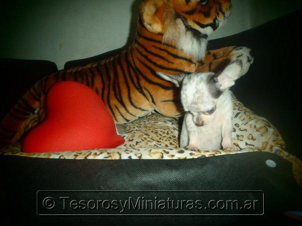 Chihuahua Merle 07