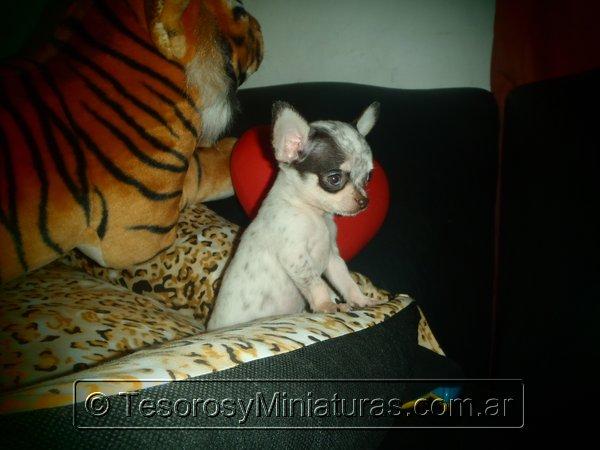 Chihuahua Merle 08