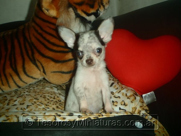 Chihuahua Merle 09