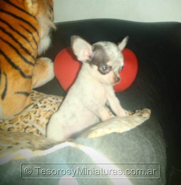 Chihuahua Merle 10