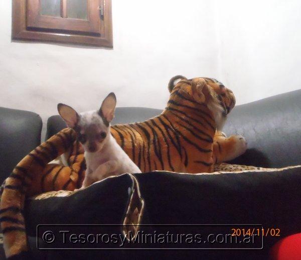 Chihuahua Merle 15
