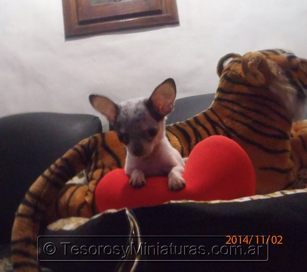 Chihuahua Merle 18
