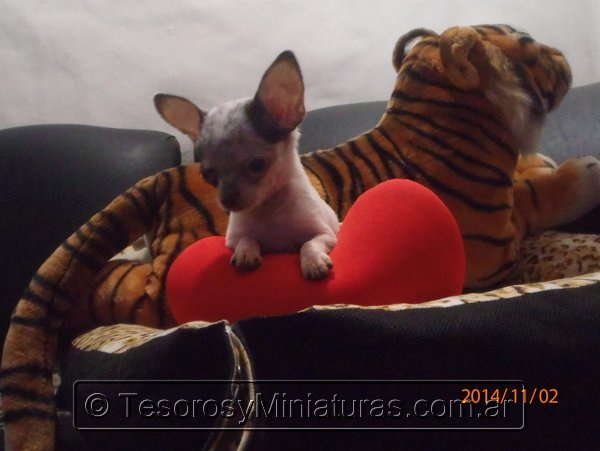 Chihuahua Merle 19