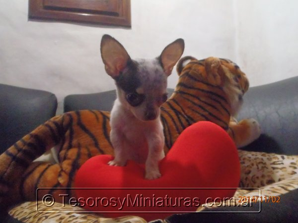 Chihuahua Merle 20