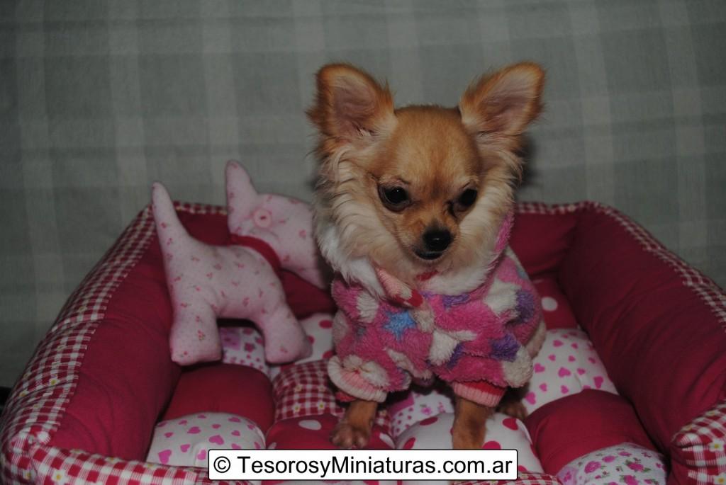 Chihuahua-Pelo-Largo-Beige-06