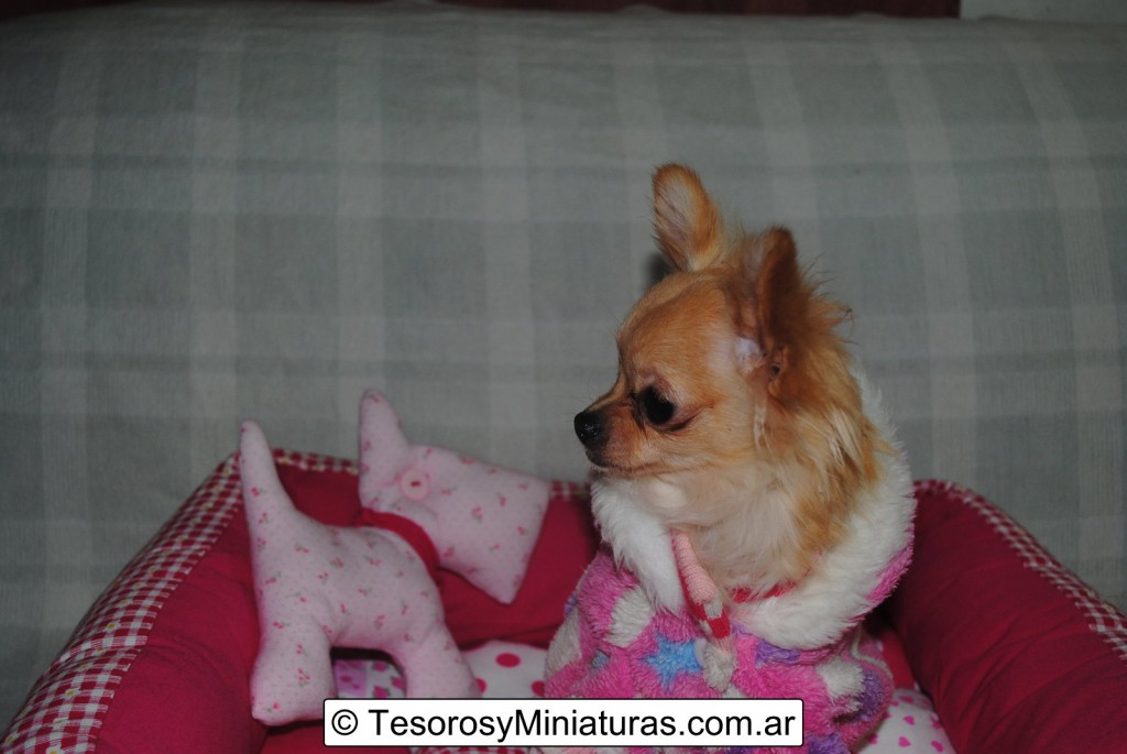 Chihuahua-Pelo-Largo-Beige-09