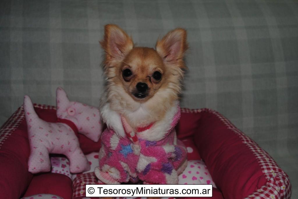 Chihuahua-Pelo-Largo-Beige-13