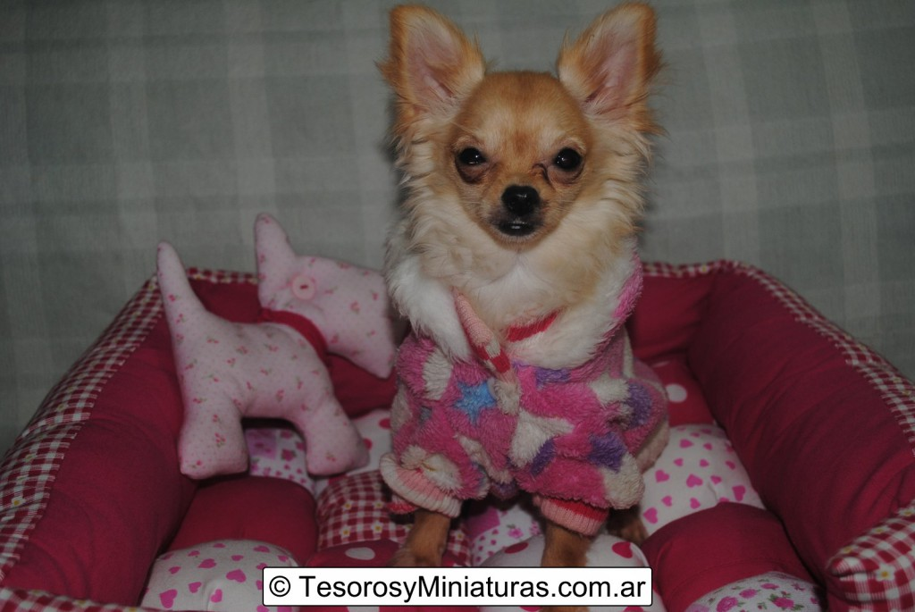 Chihuahua-Pelo-Largo-Beige-14