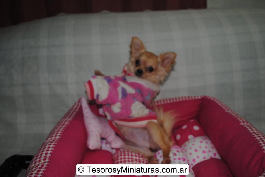 Chihuahua-Pelo-Largo-Beige-17