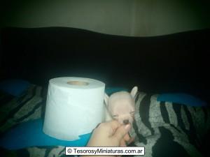 Chihuahua de Bolsillo Blanco