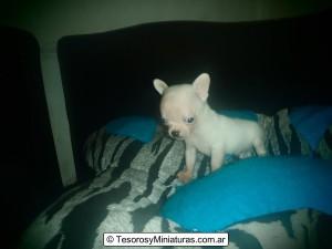 Chihuahua de Bolsillo Blanco 17