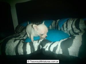 Chihuahua de Bolsillo