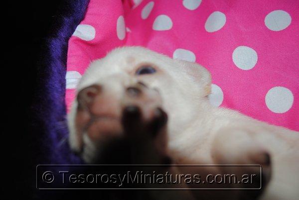 Chihuahua_Blanca_01