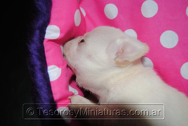 Chihuahua_Blanca_04