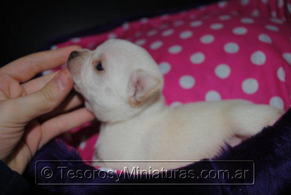 Chihuahua_Blanca_05