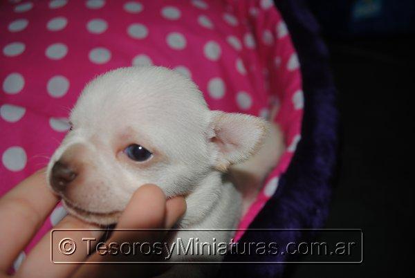 Chihuahua_Blanca_12