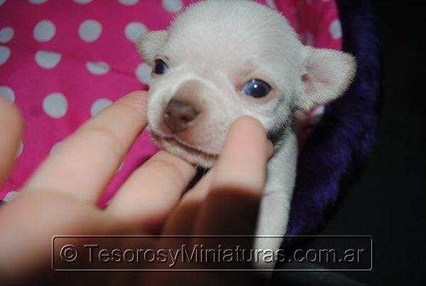 Chihuahua_Blanca_13