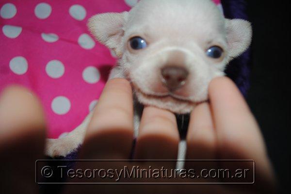 Chihuahua_Blanca_14