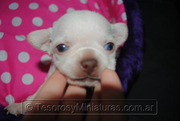 Chihuahua_Blanca_15