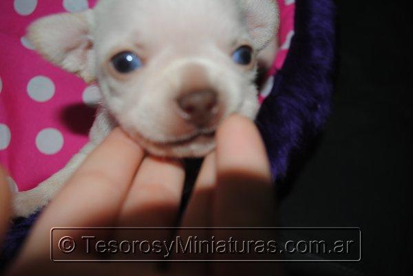 Chihuahua_Blanca_16
