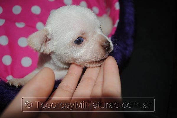 Chihuahua_Blanca_17