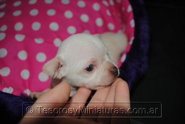 Chihuahua_Blanca_18
