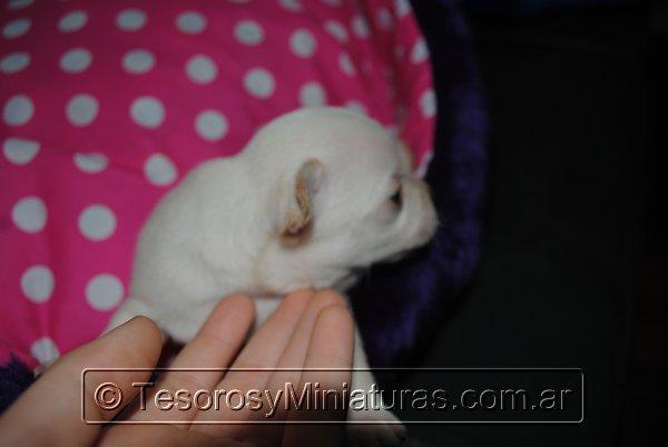 Chihuahua_Blanca_19