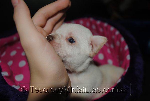 Chihuahua_Blanca_20