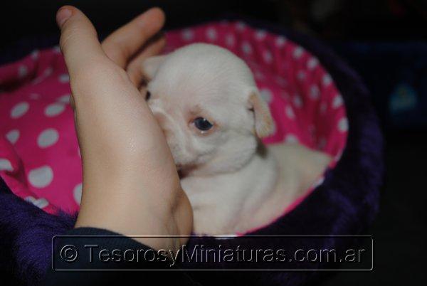 Chihuahua_Blanca_21