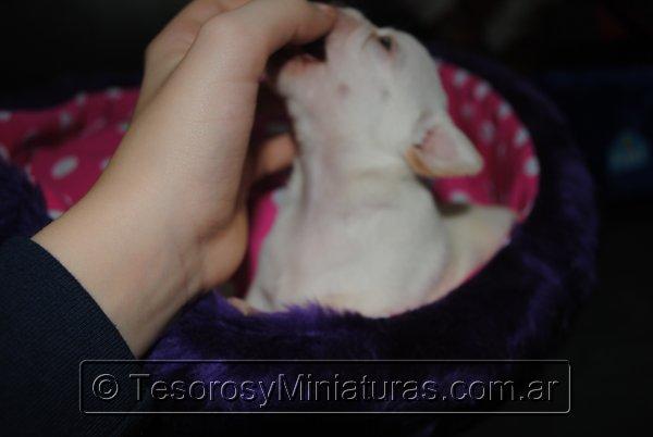 Chihuahua_Blanca_25