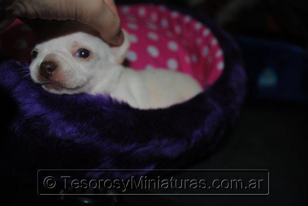 Chihuahua_Blanca_26