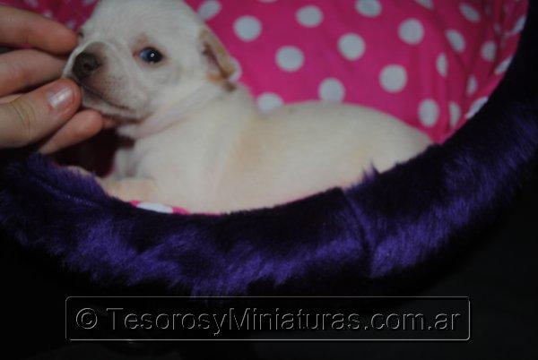 Chihuahua_Blanca_28