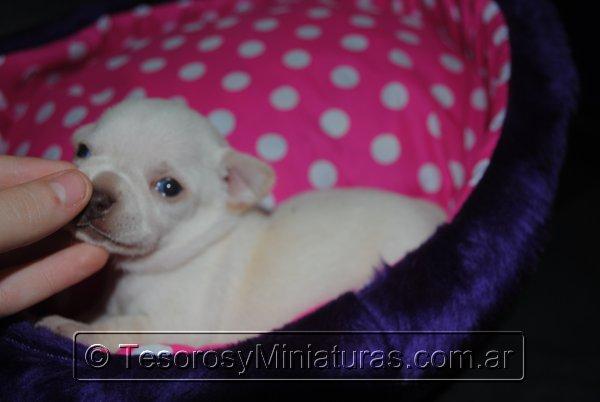 Chihuahua_Blanca_29