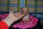 Chihuahua hembra dorada
