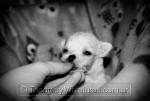 Chihuahua Blanca