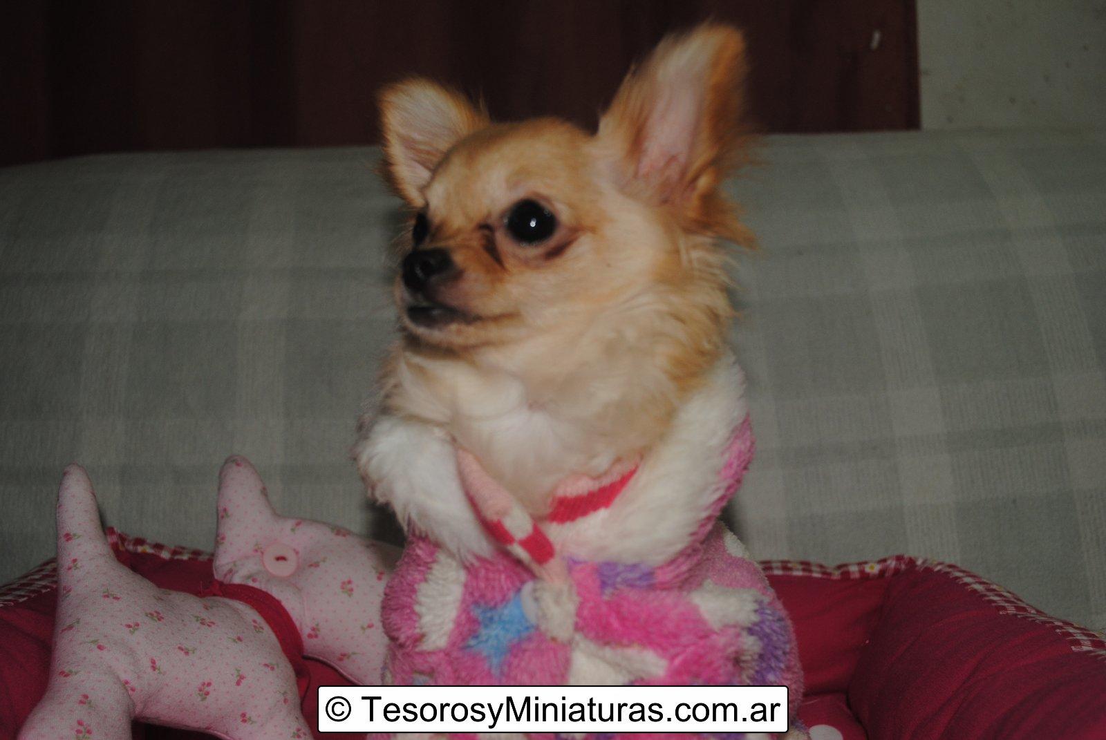 Chihuahua Hembra Beige