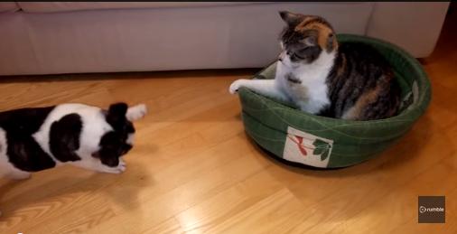 Bulldog Frances pelea por su Hogar
