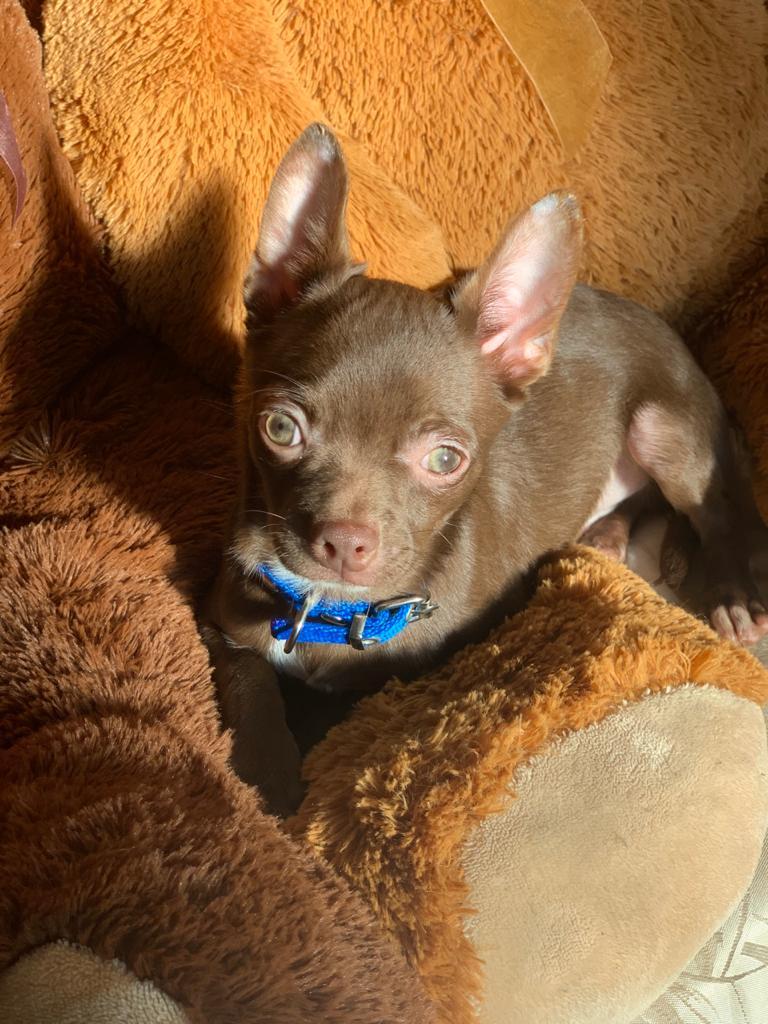 Chihuahua Chocolate