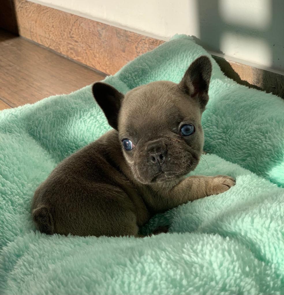 Bulldog Francés Blue Fawn
