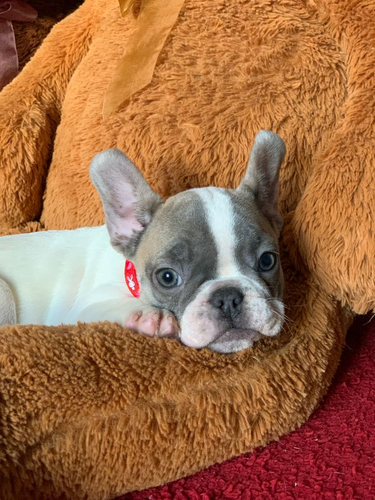 Machito Bulldog Francés