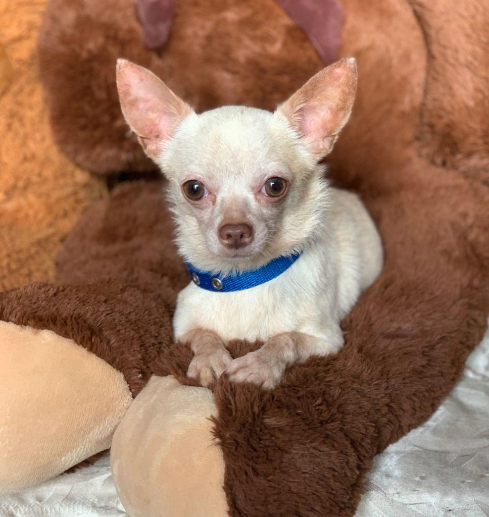 Chihuahua Manteca