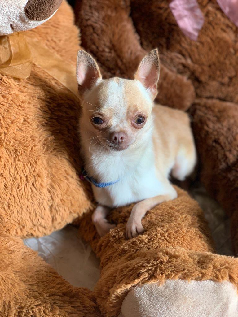Chihuahua Dorado